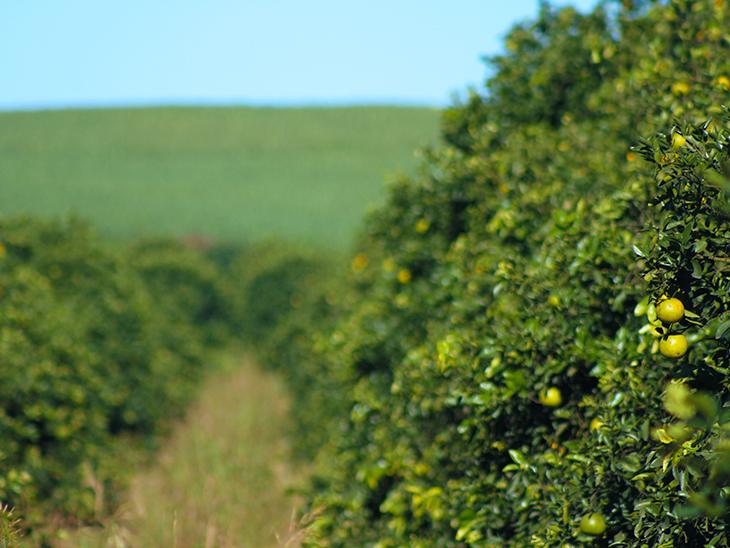 EU ends ban on Argentine citrus imports © Plantaciones de Limon