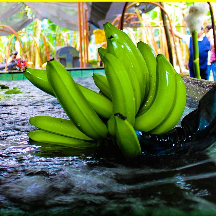 Ecuadorian banana producer association proposes halting production