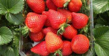 El Pinar and Plant Sciences revolutionise strawberry market with Victory