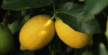 Mexican lemon sector threatened by strikes and fires