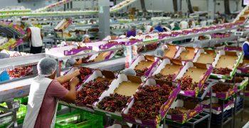 17% rise in Peru's grape exports