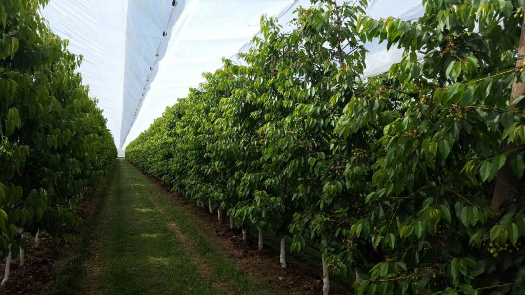 Cherry trees, Arrigoni´s solutions against cracking and pests