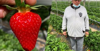 The LYCIA®CIVNB557* strawberry is the new CIV benchmark variety for the Verona and Romagna area
