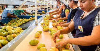Plummeting mango prices in Thailand