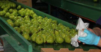 Severe labour shortage hits Chilean fruit sector