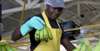 Fairtrade base wage for bananas comes into effect