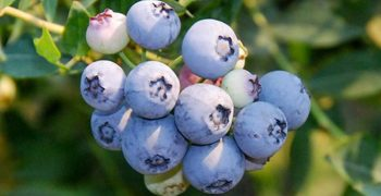 Berries drive organic sales increase in US