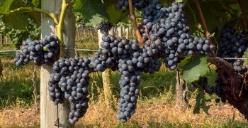 Record global grape crop