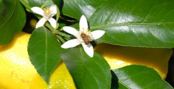 Citromax Group opens doors to China for Argentine lemon