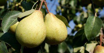 New Italian pear consortium aims to boost consumption