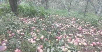 Storms damage India's apple crops at harvest time