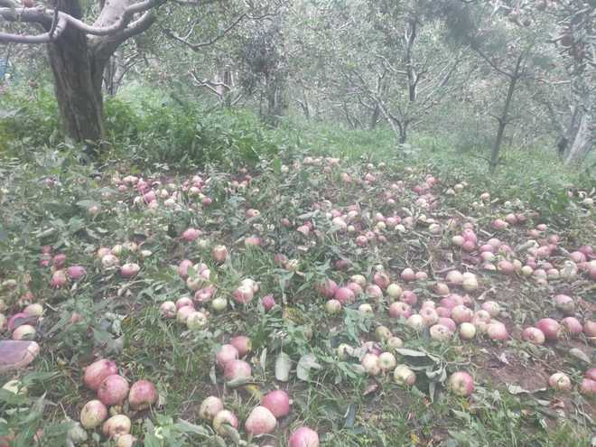 Apple crop damaged by storm © Jai Kumar/Tribune India