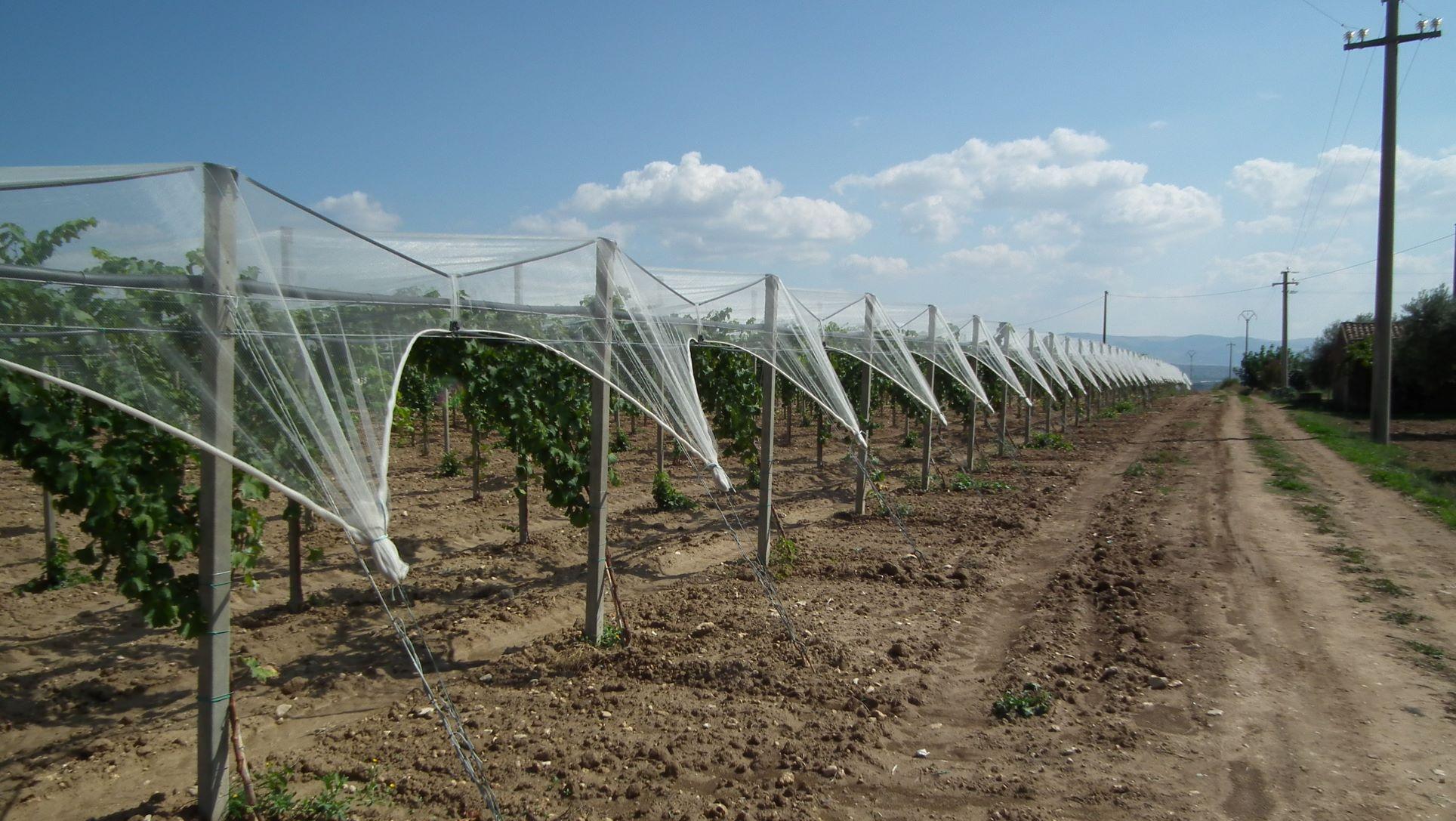 Protection of grapes © Arrigoni