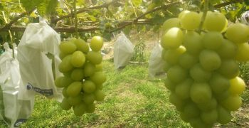South Korea outshines Japan in grape export markets