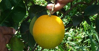 California rocked by citrus greening incident