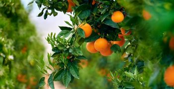 Growing-For-The-Future: sustainability and leadership in citruses, Certis Europe commitment to growers, consumers and the society.