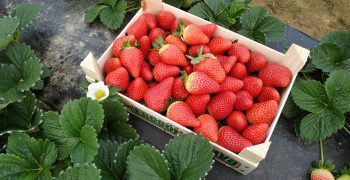 Important growth of the strawberry variety Victory