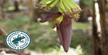 Fyffes farm first to obtain new Rainforest Alliance certification
