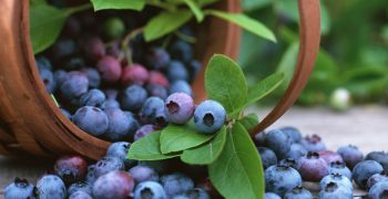 Peru projected to be the main exporter of blueberries