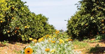 Smaller Spanish citrus crop in 2021/22
