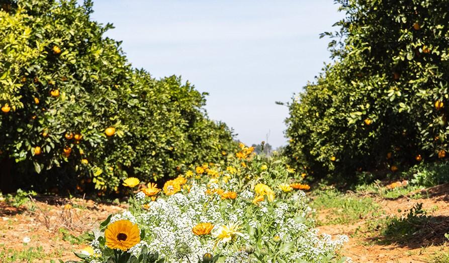 Citrus field